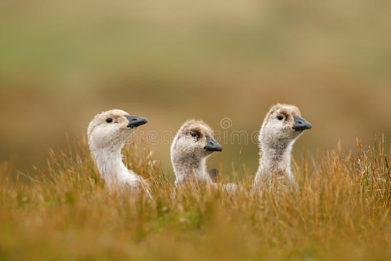 Kleine Ente drei Weißer Vogel mit langem Hals Weiße Gans im Gras Weißer Vogel im grünen Gras Gans im Gras Wildes wh stockfoto