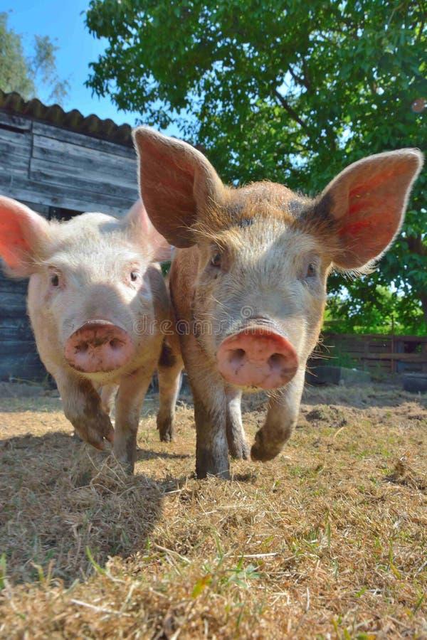 Kleine europäische Schweine draußen an einem Bauernhof stockbilder
