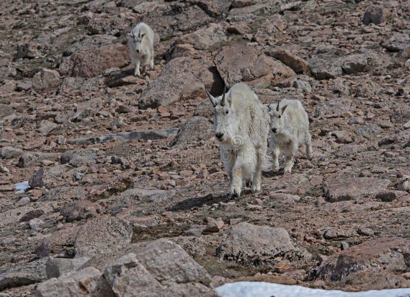 Kleine Familie der Gebirgsziegen auf Mt Evans, Colorado lizenzfreies stockfoto