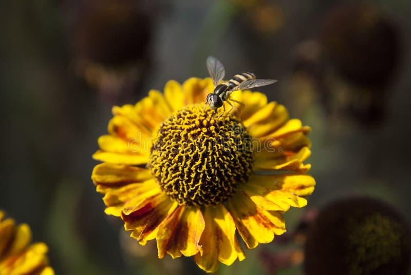 Kleine Fliege auf gelber Blume lizenzfreie stockbilder