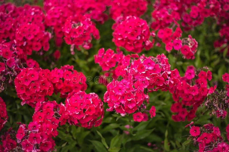 Kleine frambozenbloemen op bloembed stock afbeeldingen