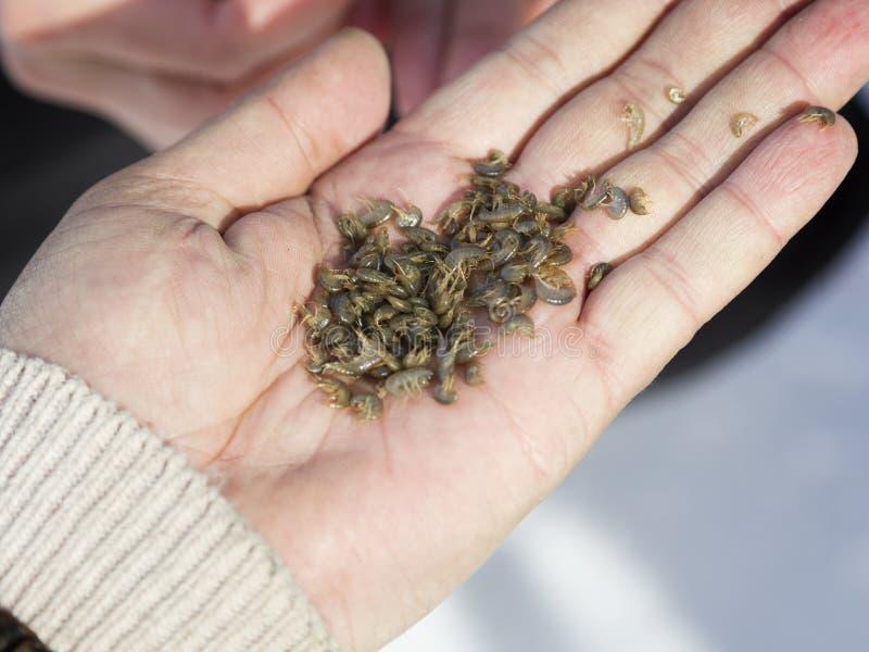 Kleine Garnelen werden als Köder für die Fischerei benutzt stockbilder