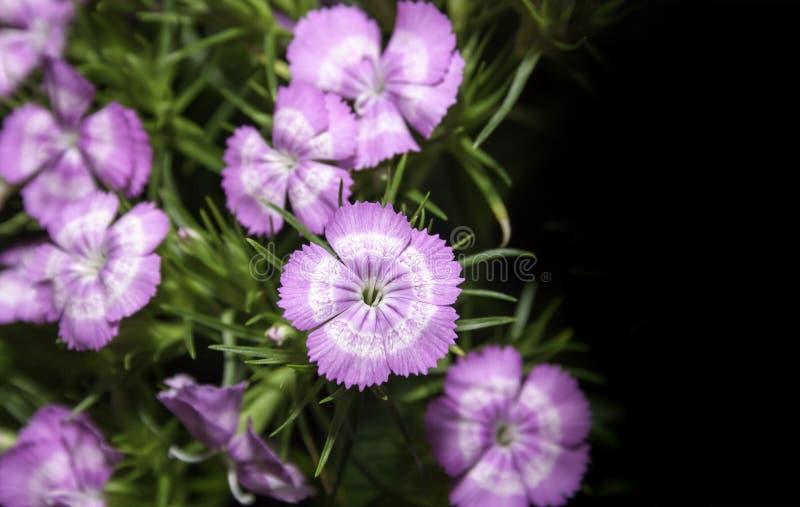 Kleine Gartennelkenblume lizenzfreie stockfotografie