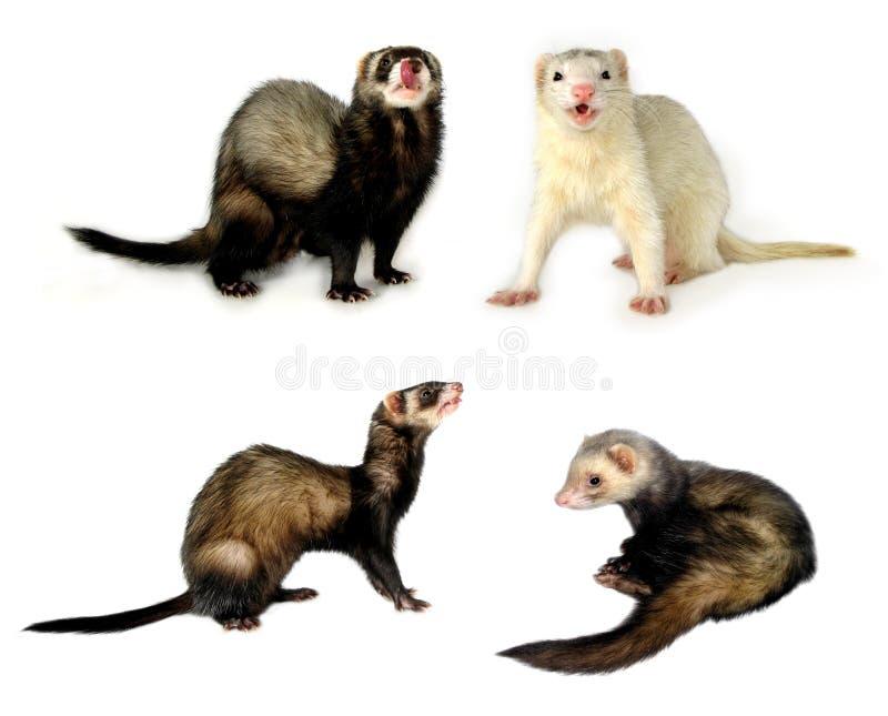 Kleine [Geïsoleerde] Zoogdieren stock foto's