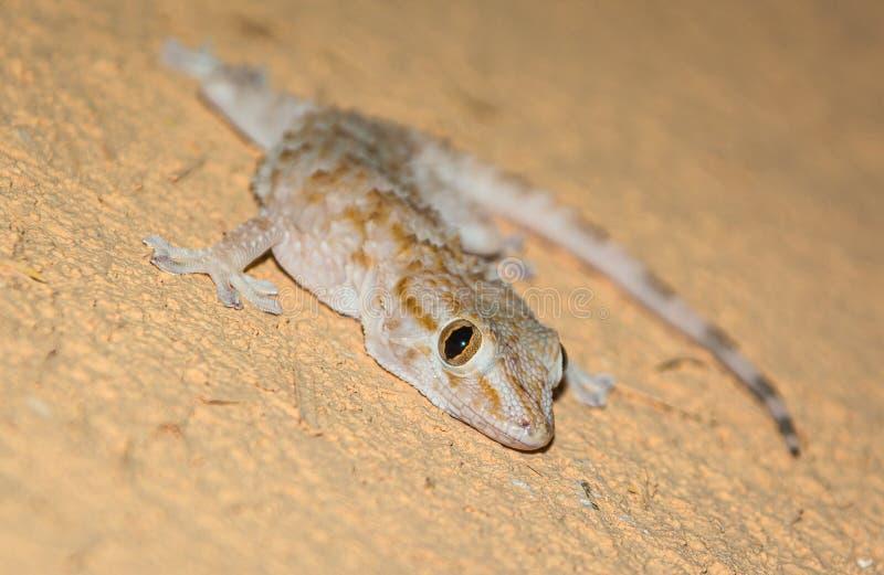 Kleine gekko die op de oranje muur, Marokko liggen royalty-vrije stock fotografie