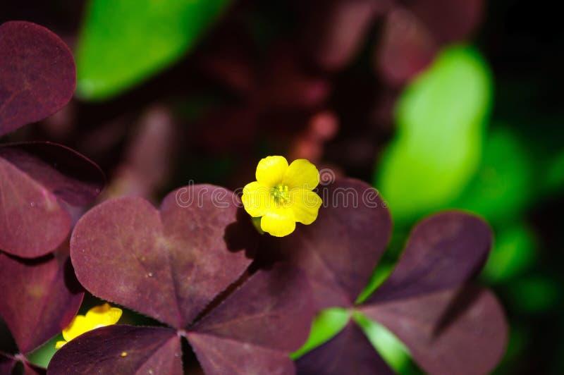 Kleine gelbe Blume auf einem Hintergrund von Burgunder-Blättern stockfoto