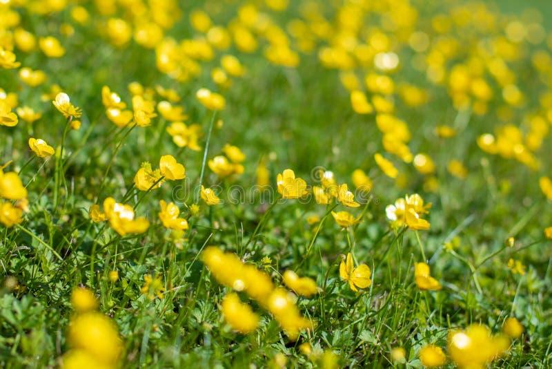 Kleine gelbe Blumen auf einer grünen Wiese Unscharfer Blumenhintergrund Gr?ne und gelbe Beschaffenheit Grünes Gras und Gelb lizenzfreie stockfotografie