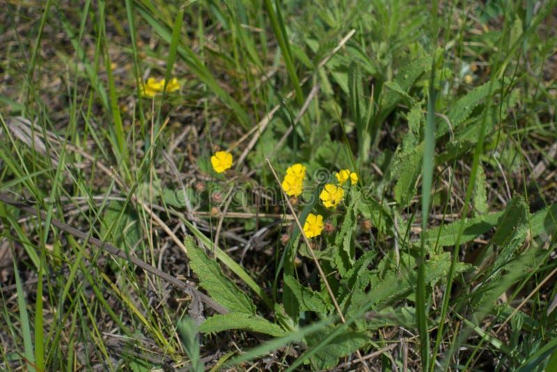 Kleine Gelbe Blumen Von Potentilla Im Gras Stockbild - Bild von ...