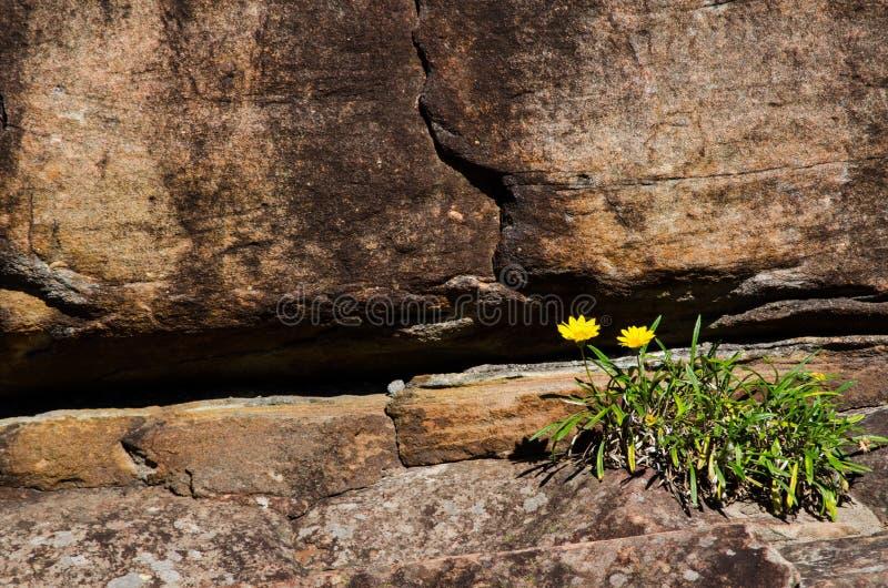 Kleine gelbe Daisy Wildflowers, die auf natürlicher Felsenwand in einer Frühlings-Saison an einem botanischen Garten wächst lizenzfreie stockfotografie