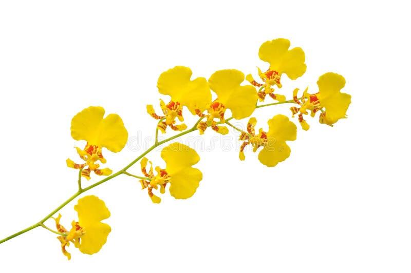 Kleine gelbe Orchidee lizenzfreie stockfotos