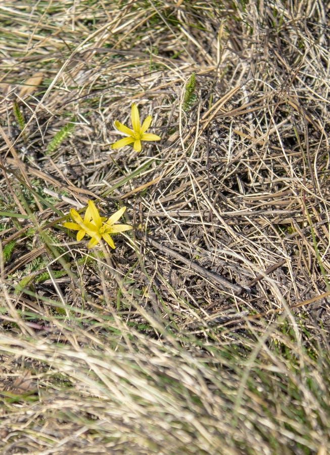 Kleine gele bloemen in het bos op droog gras De eerste bloemen in de lente royalty-vrije stock foto's