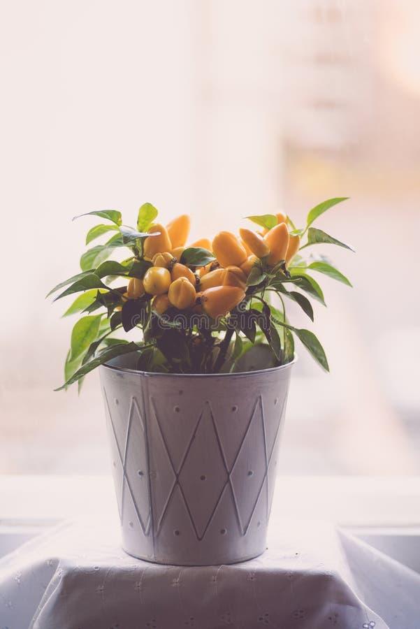 Kleine gele hete peperstruik in een witte pot royalty-vrije stock afbeeldingen