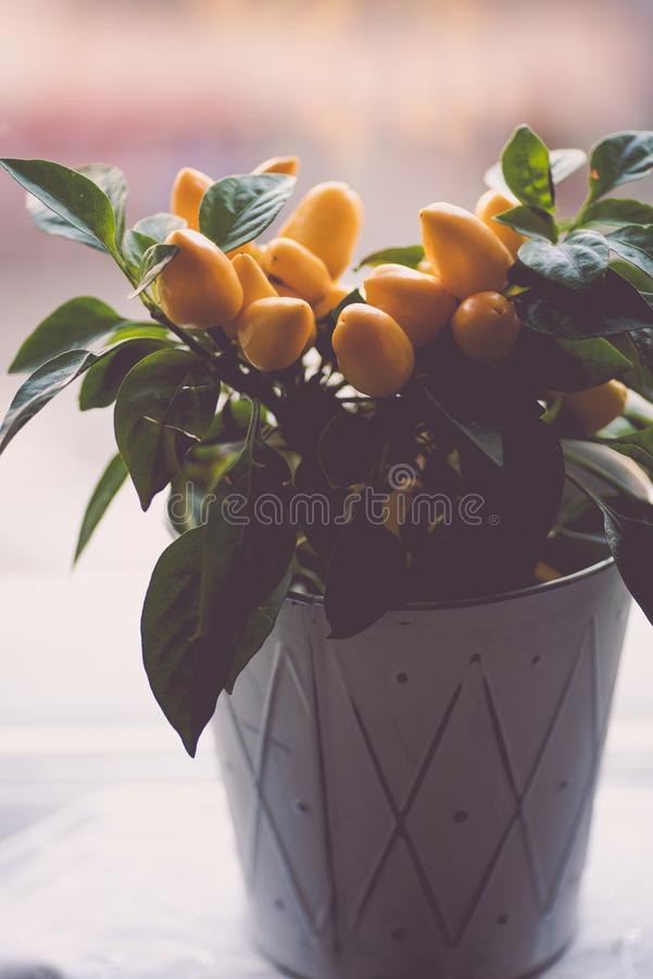 Kleine gele hete peperstruik in een witte pot stock afbeeldingen