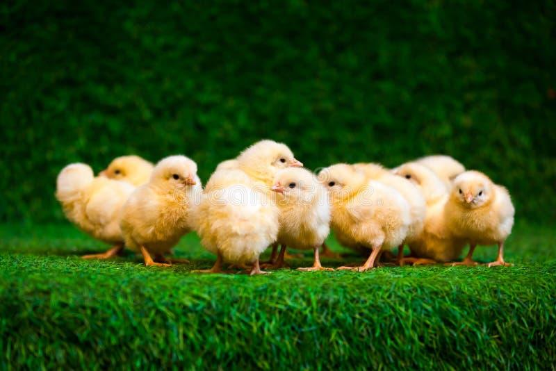 Kleine gele kuikens stock afbeelding