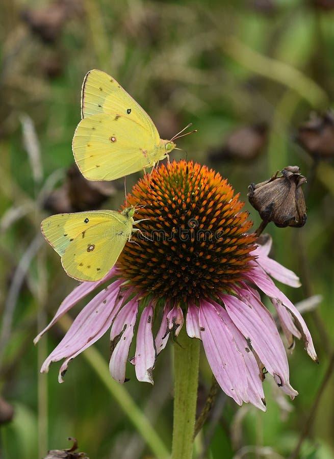 kleine gele vlinders stock foto's