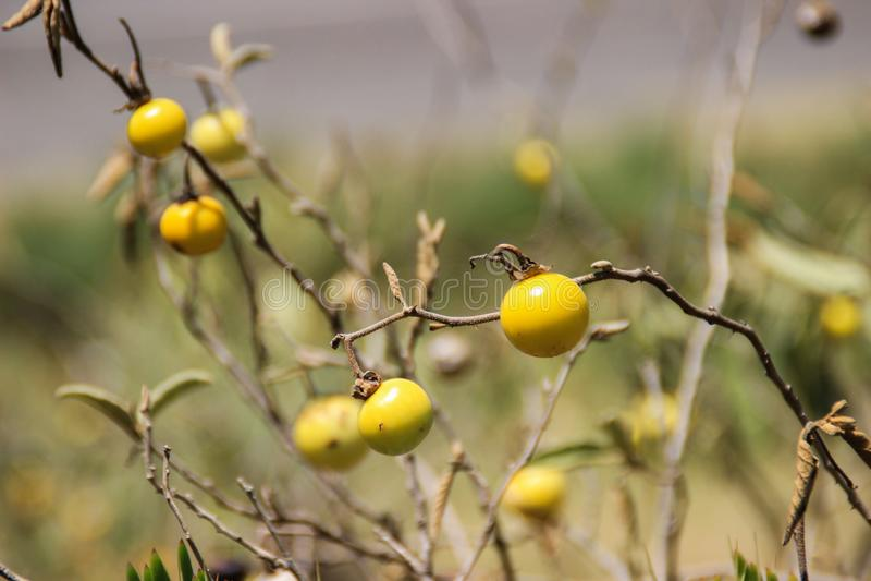 Kleine gele vruchten van een Afrikaanse installatie stock foto's