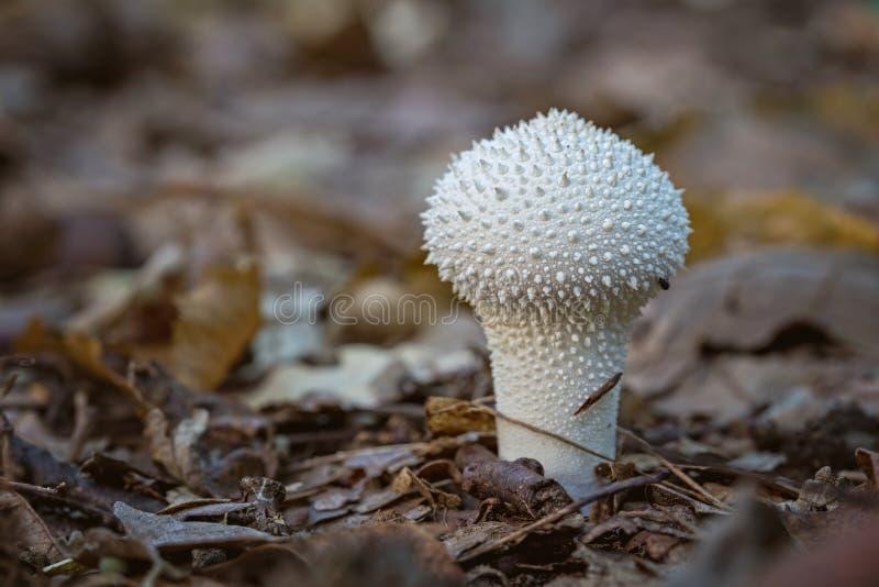 Kleine gemeenschappelijke puffball (Lycoperdon perlatum) paddestoel stock afbeeldingen