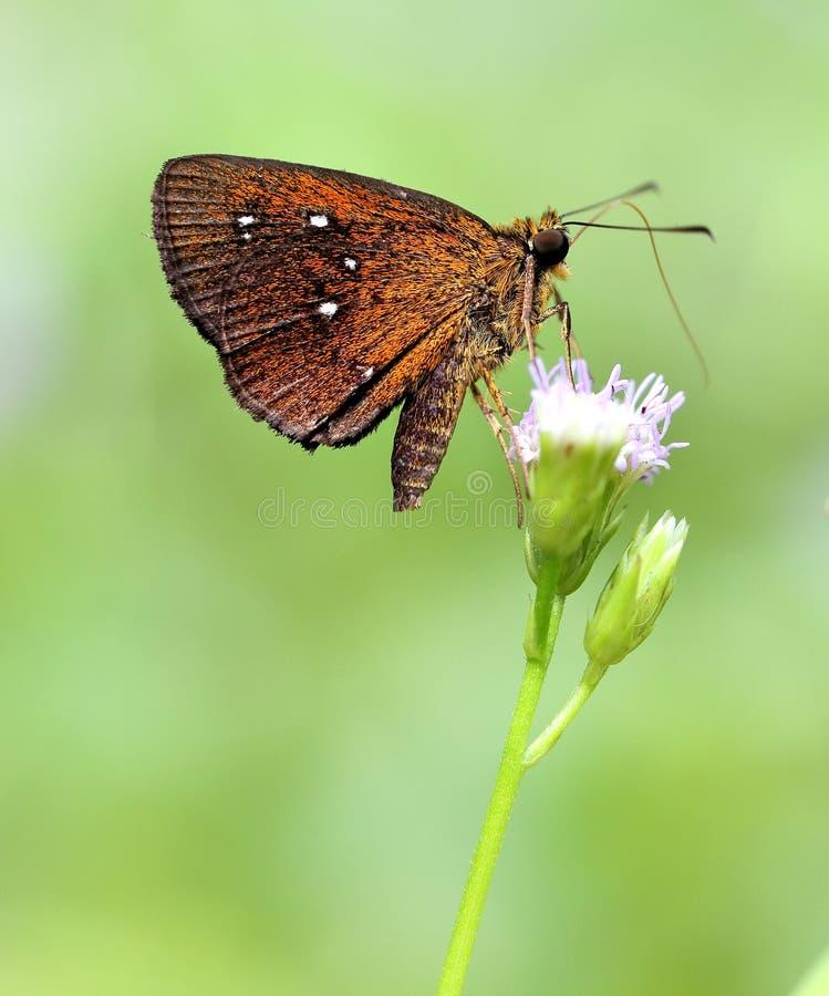 Kleine Gemerkte Vlugge Vlinder royalty-vrije stock foto's