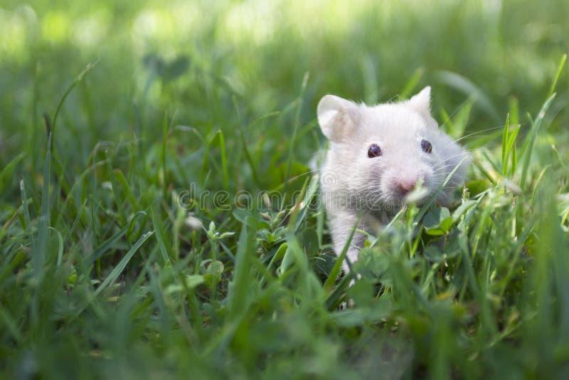Kleine gouden hamster in het gras stock foto's