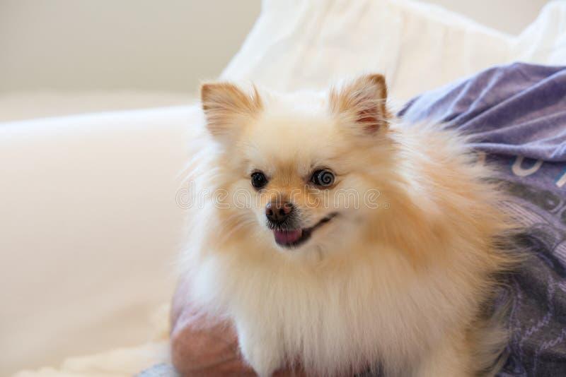 Kleine gouden pomeranian die puppyhond in de wapens van zijn meester wordt gehouden stock fotografie