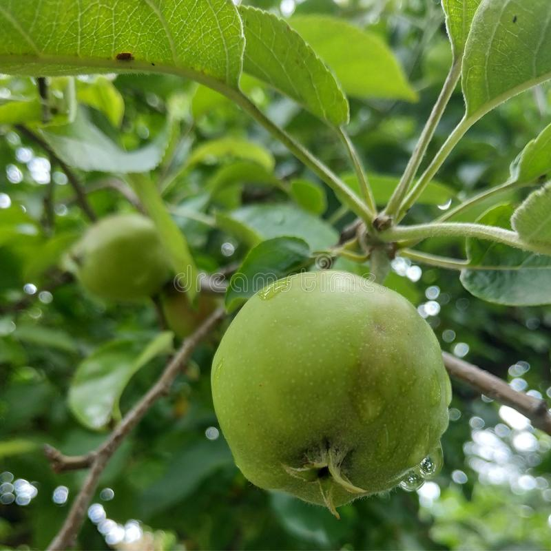 Kleine grüne Äpfel am Morgen stock abbildung