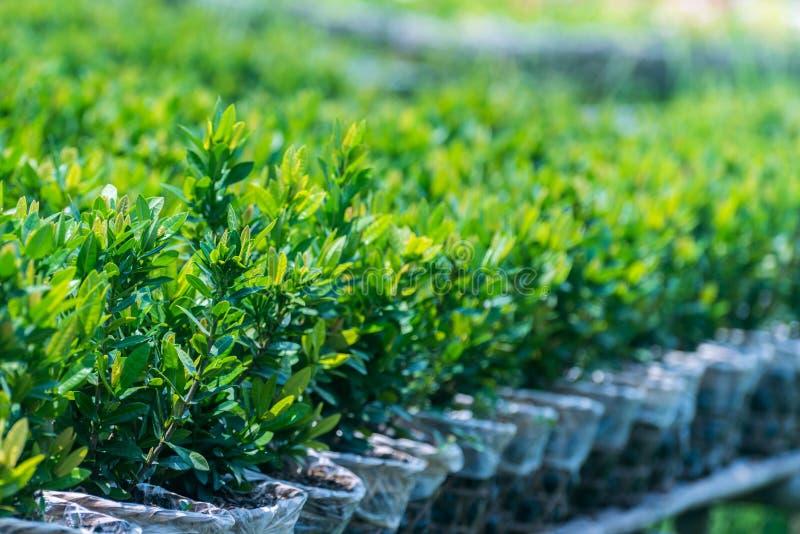 Kleine grüne Bäume für Verkauf stockfotografie