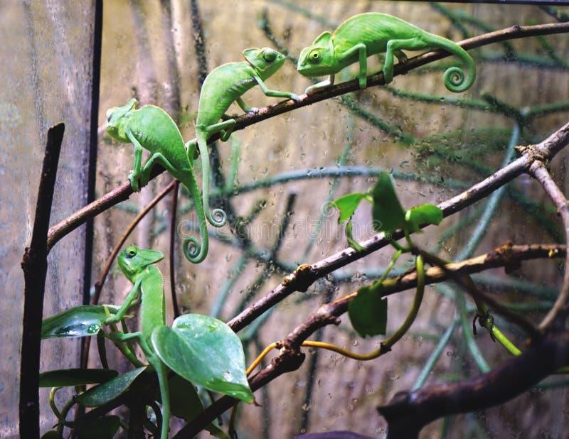 Kleine grüne Chamäleone stockfotos