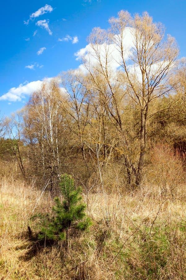 Kleine grüne Kiefer im trockenen Gras stockfotos