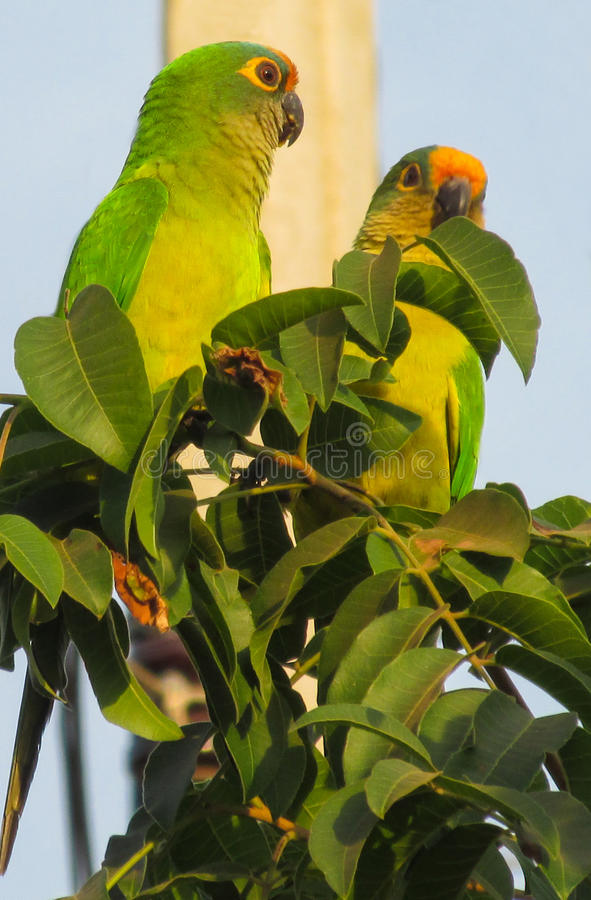 Kleine grüne Papageien auf Baum lizenzfreie stockfotos