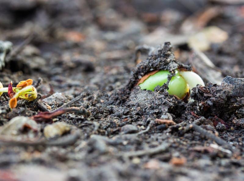 Kleine Grünpflanze im Boden stockbilder