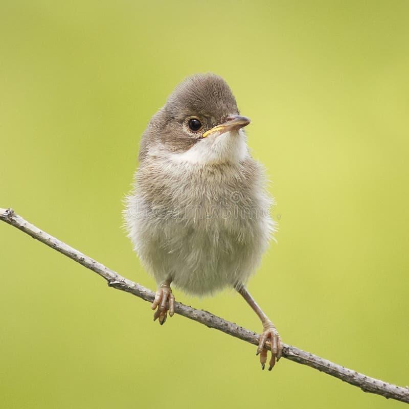 Kleine grappige boze babyvogel stock afbeeldingen