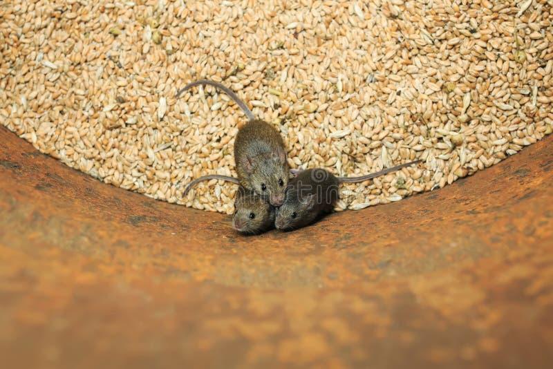 kleine graue Mäuse der Nagetiere sitzen in einem Fass mit einem Vorrat an Weizenkörnern, verderben die Ernte und oben erschrocken lizenzfreies stockfoto