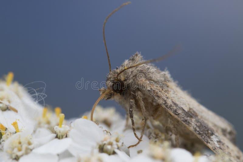Kleine Graue Motte, Die Auf Blume Einzieht Stockfoto - Bild von ...