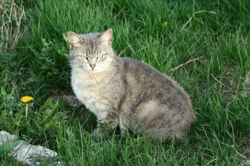 Kleine graue Tabby Cat lizenzfreies stockfoto