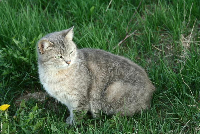 Kleine graue Tabby Cat lizenzfreie stockfotografie