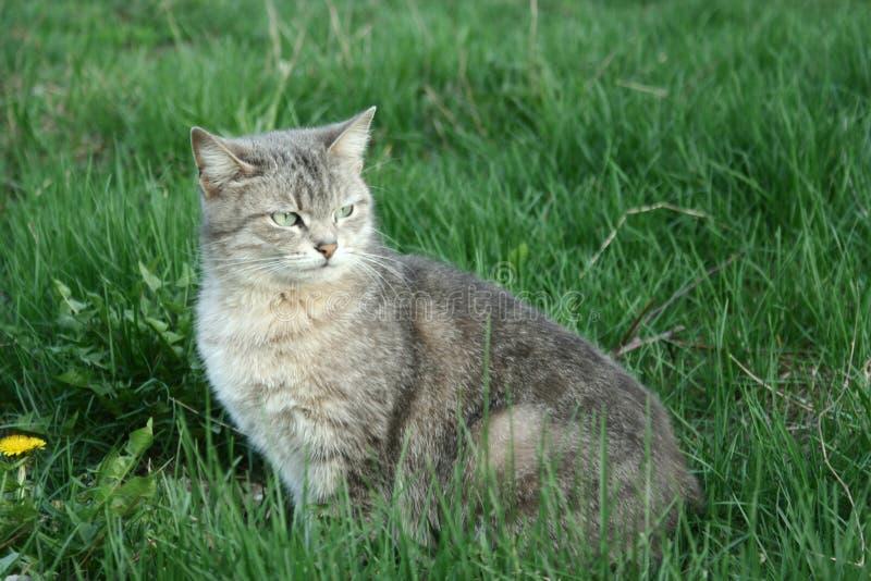 Kleine graue Tabby Cat stockbilder