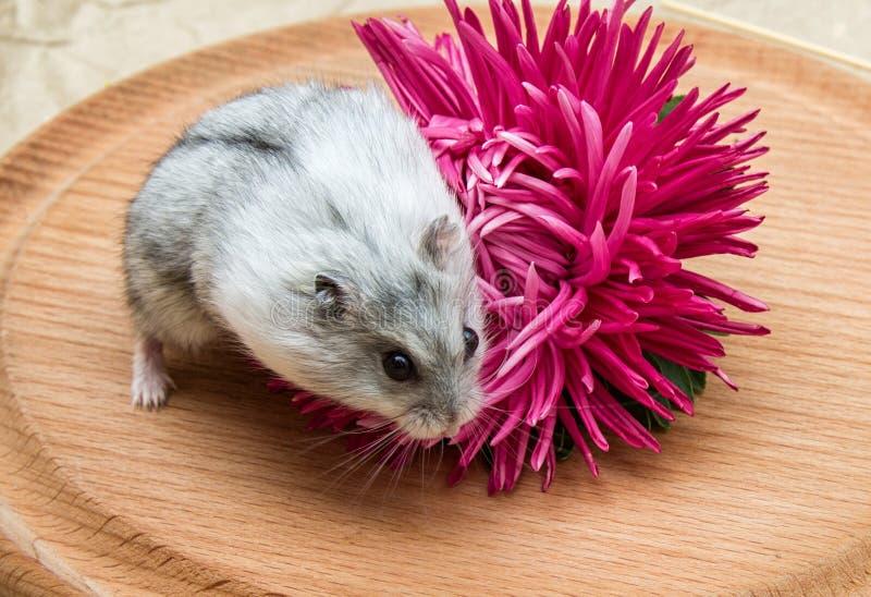 Kleine grijze hamster stock fotografie