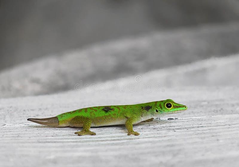 Kleine groene gekko's. Seychellen stock foto's