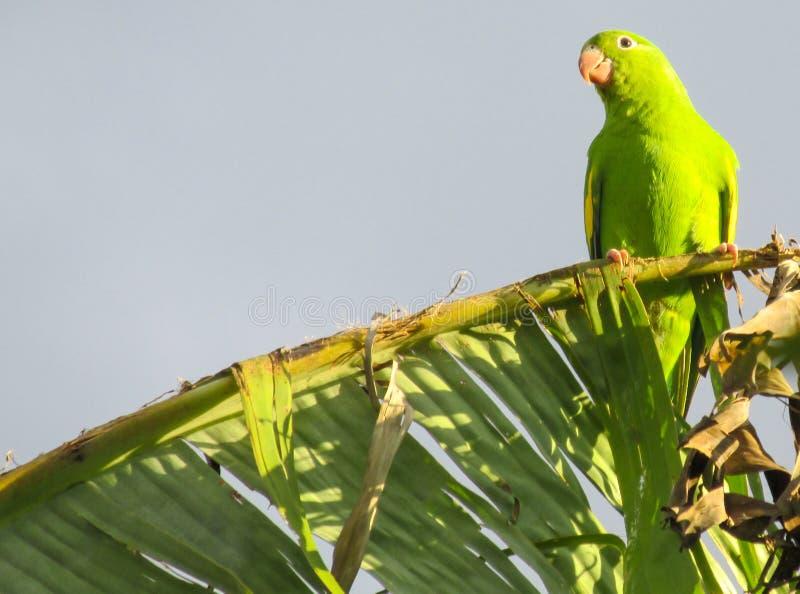 Kleine groene papegaai stock afbeeldingen