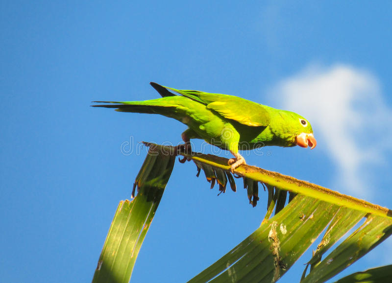 Kleine groene papegaai royalty-vrije stock foto's