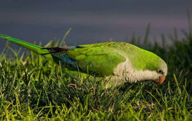 Kleine groene papegaai op het groene gras royalty-vrije stock foto