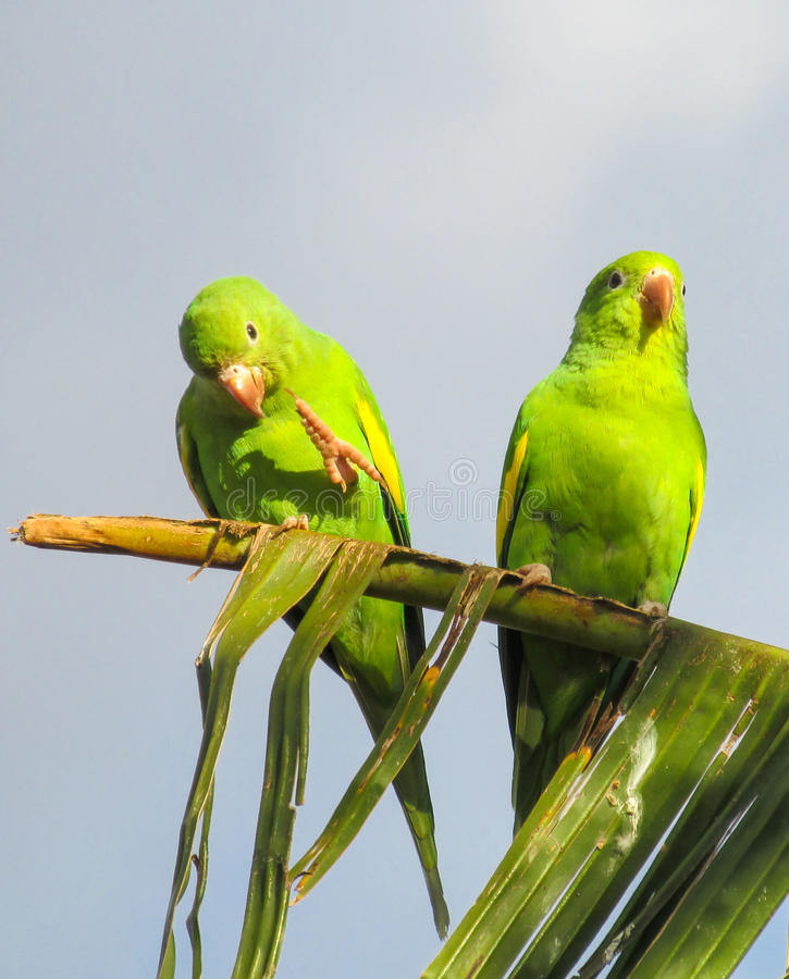 Kleine groene papegaaien stock afbeelding