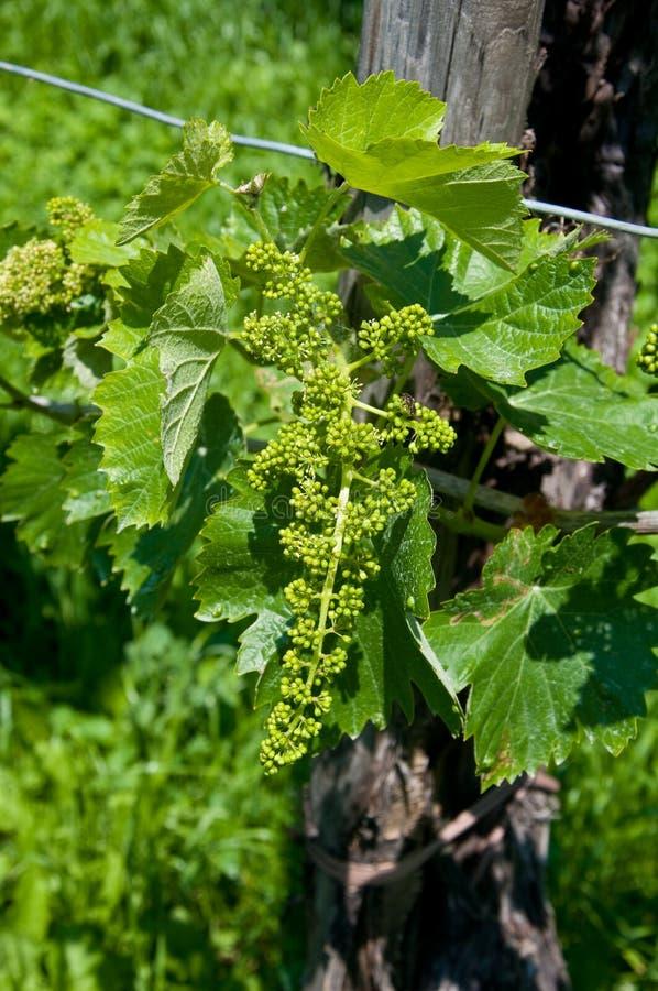 Kleine groene proseccobossen in Italië dichtbij valdobbiadene stock afbeeldingen