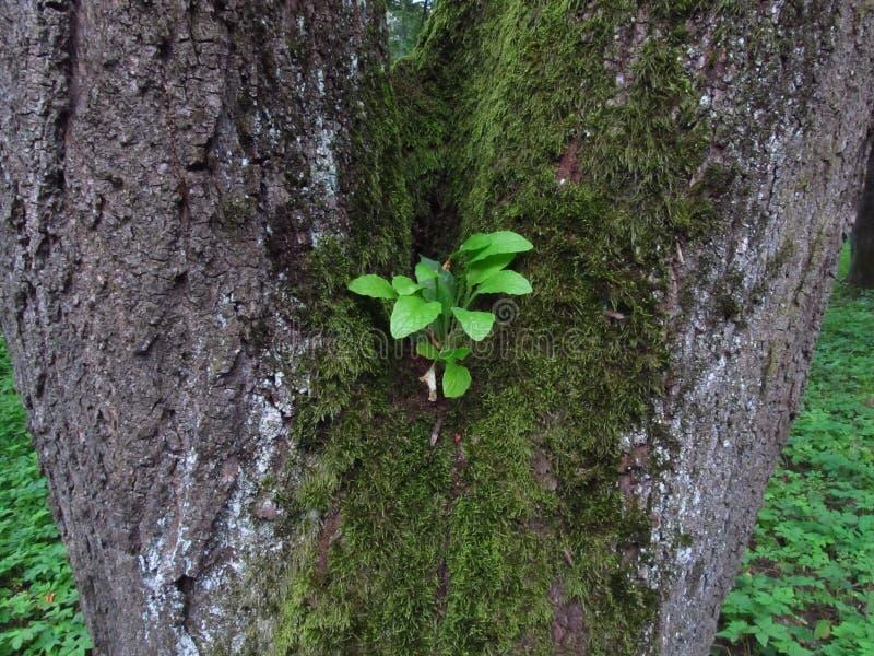 Kleine groene spruit op oude boom met mos stock foto