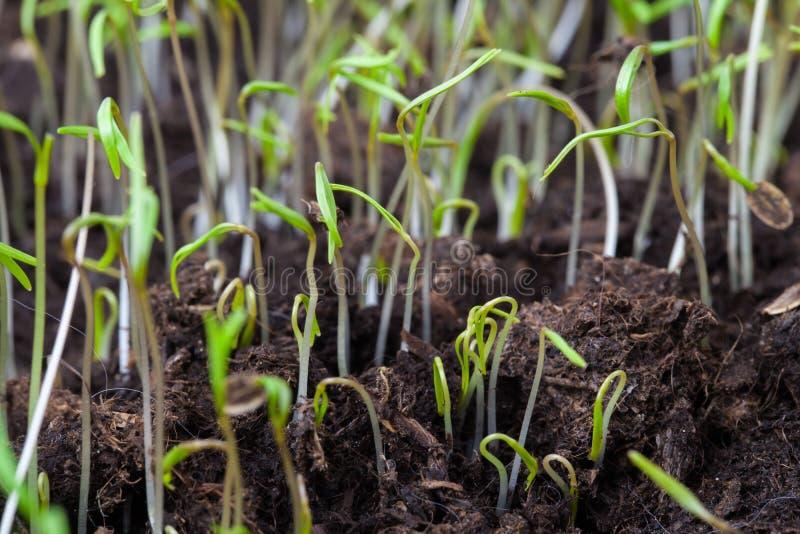Kleine groene spruiten van de lentegras over donkere grondachtergrond stock afbeeldingen