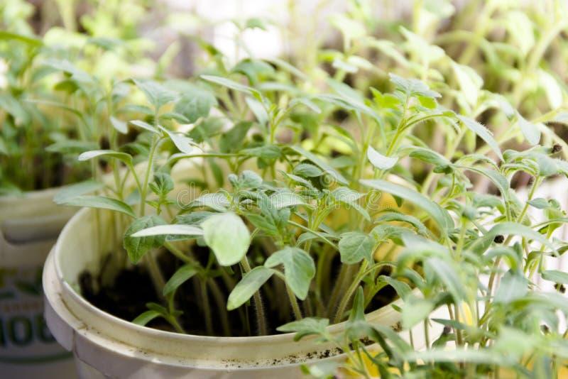 kleine groene spruiten van tomatenzaailingen stock foto's