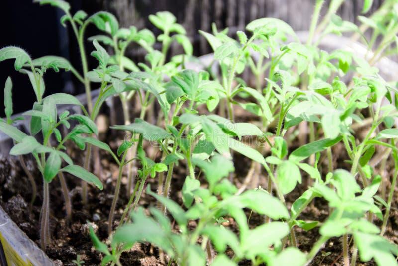 kleine groene spruiten van tomatenzaailingen stock fotografie