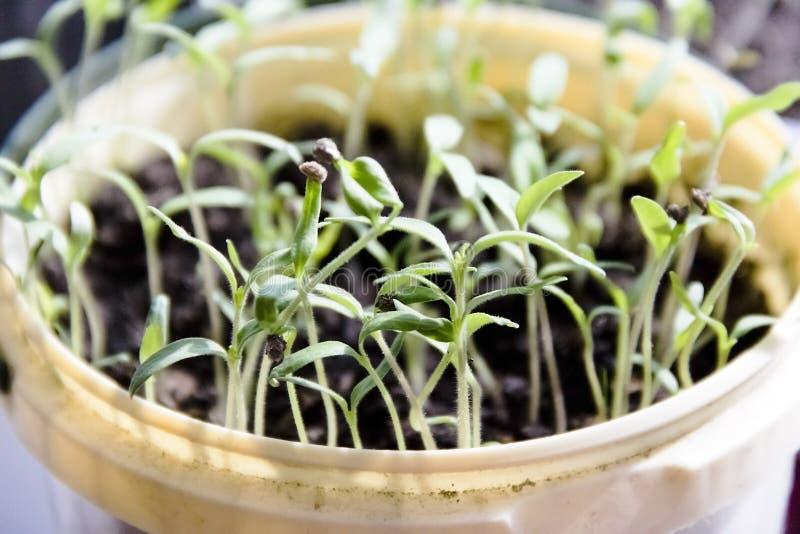 kleine groene spruiten van tomatenzaailingen royalty-vrije stock foto's