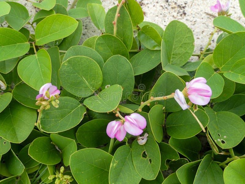Kleine groene strandwijnstok met roze bloemen stock foto's