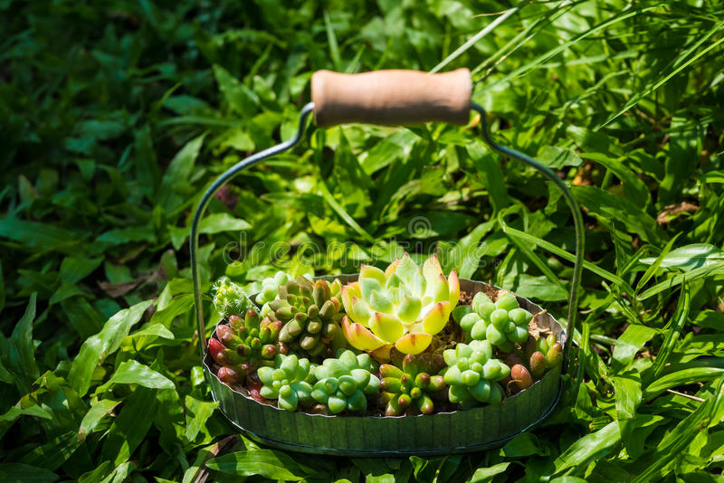 Kleine groene succulente installatie in mand op grasachtergrond stock afbeelding